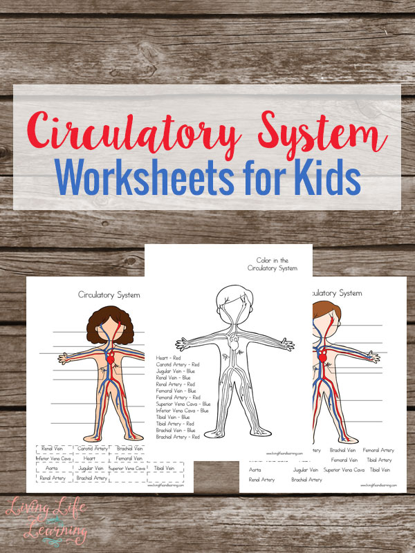 free circulatory system worksheets for kids homeschool freebies educational freebies. Black Bedroom Furniture Sets. Home Design Ideas